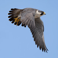Peregrine and other Falcons